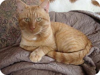Domestic Shorthair Cat for adoption in Rochester, Minnesota - Golden Graham