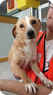 Chihuahua Mix Dog for adoption in Westminster, California - Kobe