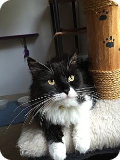 Domestic Mediumhair Kitten for adoption in Hanna City, Illinois - ChiChi