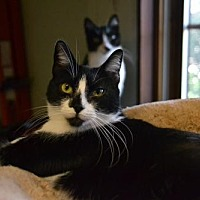 Adopt A Pet :: Silver & Storm - Land O Lakes, FL
