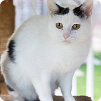 Domestic Shorthair Cat for adoption in Ashland, Wisconsin - Luna
