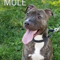 American Pit Bull Terrier Mix Dog for adoption in Twinsburg, Ohio - Mole
