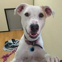 Adopt A Pet :: Pupper - Oklahoma City, OK