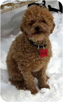 Poodle (Miniature) Mix Dog for adoption in Ile-Perrot, Quebec - Shooter