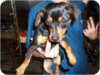 Terrier (Unknown Type, Medium) Mix Puppy for adoption in Sparta, North Carolina - Ethel