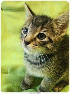 Domestic Shorthair Kitten for adoption in Brooklyn, New York - Guinness