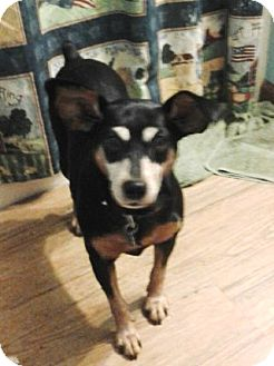 Miniature Pinscher/Rat Terrier Mix Dog for adoption in Newburgh, Indiana - Maggie