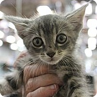 Adopt A Pet :: Adam - Santa Monica, CA