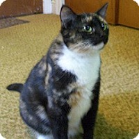 Domestic Shorthair Cat for adoption in Jacksonville, North Carolina - Noelle
