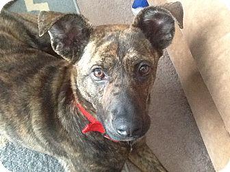 Terrier (Unknown Type, Medium)/Shepherd (Unknown Type) Mix Dog for adoption in Toledo, Ohio - Olive