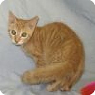 Domestic Shorthair Cat for adoption in Powell, Ohio - Parker
