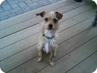 Terrier (Unknown Type, Small) Mix Dog for adoption in Salem, Oregon - Pop