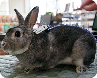 Chinchilla, Standard for adoption in Fullerton, California - Elaines Pet Depot