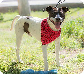 Pointer/Cattle Dog Mix Dog for adoption in Santa Monica, California - Douglas