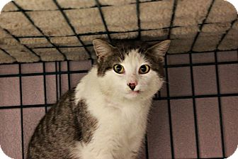 Domestic Shorthair Cat for adoption in New Richmond,, Wisconsin - Dodger - No Adoption Fee!