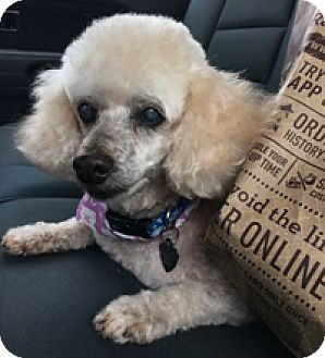 Miniature Poodle Mix Dog for adoption in Melbourne, Florida - MARCO POLO
