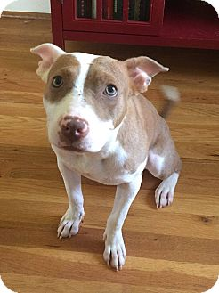 Pit Bull Terrier Mix Puppy for adoption in Milton, New York - Kenna