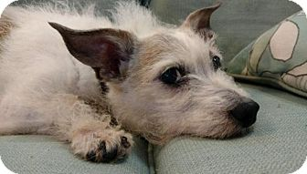 Jack Russell Terrier Mix Dog for adoption in Union Grove, Wisconsin - Buddy
