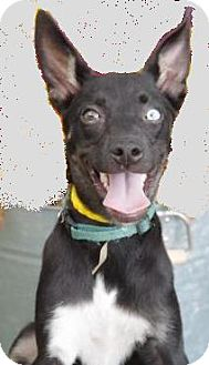 Australian Kelpie Mix Puppy for adoption in Inverness, Florida - Beauty