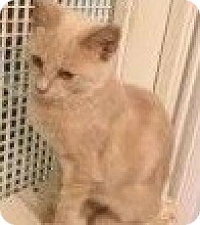 Domestic Shorthair Kitten for adoption in LaGrange, Kentucky - Skeeter