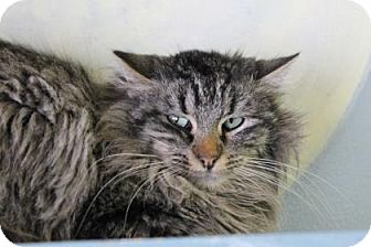 Domestic Mediumhair Cat for adoption in West Des Moines, Iowa - Rylan