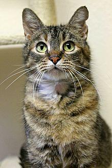 Domestic Shorthair Cat for adoption in Portland, Oregon - Gloria
