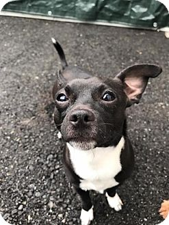 Chihuahua/Terrier (Unknown Type, Small) Mix Puppy for adoption in Bellingham, Washington - Meatball