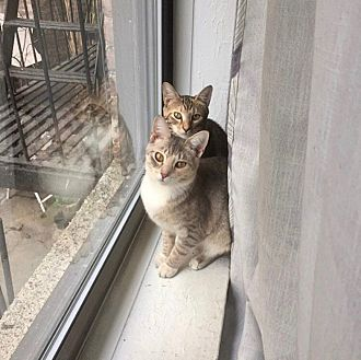 American Shorthair Cat for adoption in New York, New York - Isobel and Clover
