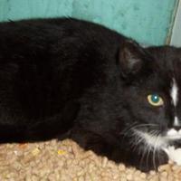 Domestic Shorthair/Domestic Shorthair Mix Cat for adoption in Clinton, Missouri - Marlene