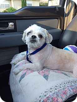 Shih Tzu Mix Dog for adoption in Windham, New Hampshire - Bandi