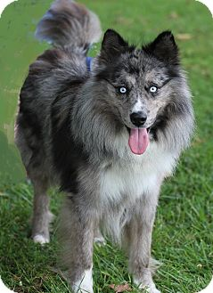 Australian Shepherd Mix Dog for adoption in Cannelton, Indiana - Hannable