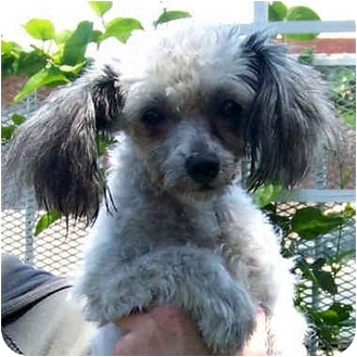Maltese/Poodle (Toy or Tea Cup) Mix Dog for adoption in El Segundo, California - Toby