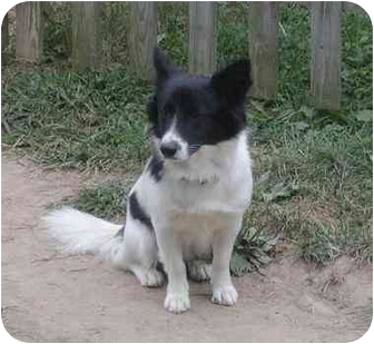 Corgi/Papillon Mix Dog for adoption in Earleville, Maryland - Happy Dog
