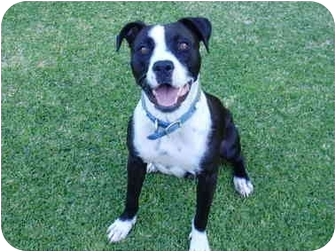 American Staffordshire Terrier/American Pit Bull Terrier Mix Dog for adoption in Los Angeles, California - Panda