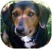 Beagle/Collie Mix Dog for adoption in Toronto, Ontario - Molly