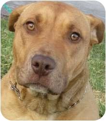 Pit Bull Terrier/Labrador Retriever Mix Dog for adoption in Kansas City, Missouri - Fiji