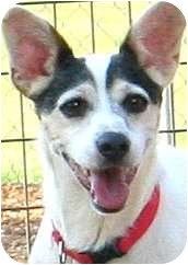 Fox Terrier (Smooth)/Corgi Mix Dog for adoption in Wakefield, Rhode Island - RIPLEY