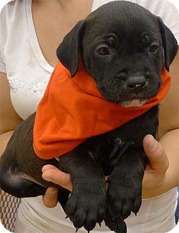 Labrador Retriever/American Bulldog Mix Puppy for adoption in Sacramento, California - Blossom kind soul