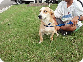 Corgi Mix Dog for adoption in Cumming, Georgia - Olivia