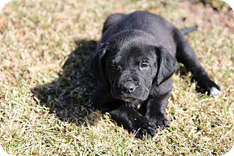 Labrador Retriever Mix Puppy for adoption in Baton Rouge, Louisiana - Zulu