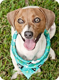 Jack Russell Terrier Mix Dog for adoption in Portsmouth, Rhode Island - Jocomo w/video!