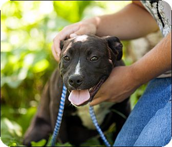 American Pit Bull Terrier/Labrador Retriever Mix Puppy for adoption in Colville, Washington - Brittany