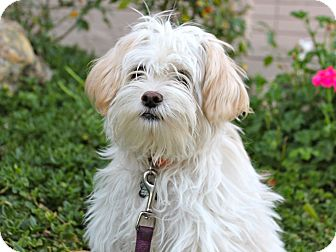 Maltese Mix Puppy for adoption in Los Angeles, California - Bamboo