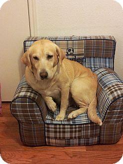 Labrador Retriever Mix Dog for adoption in Humble, Texas - Penny