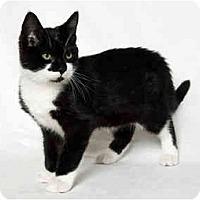 Adopt A Pet :: Mittens - Portland, OR
