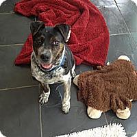 Adopt A Pet :: SCOOTER-JJ (AL) - Roundup, MT