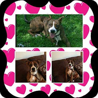 Pit Bull Terrier/Boxer Mix Dog for adoption in ROME, New York - Cindy