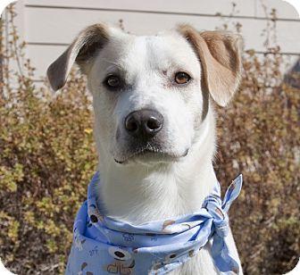 Labrador Retriever Mix Dog for adoption in Portola, California - Snoopy