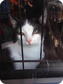 Domestic Shorthair Cat for adoption in Brooklyn, New York - Katie