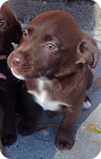 Labrador Retriever Mix Puppy for adoption in Savannah, Georgia - Pheobs